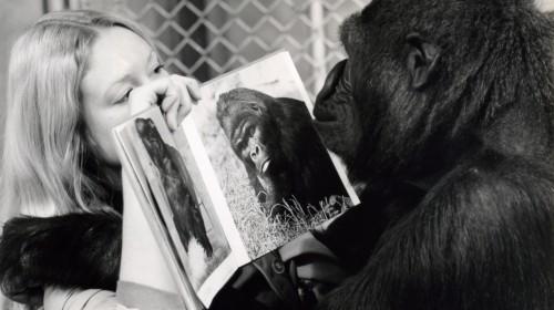 Koko le gorille qui parle.